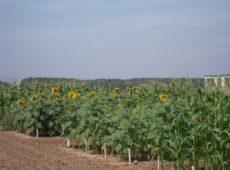 Полевой опыт по отработки технологий био- и фиторемидиации загрязненных земель