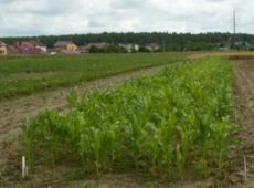Изучение эффективности биологического азота в севооборотах с кукурузой