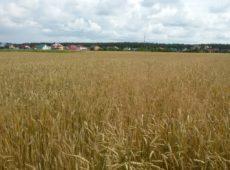 Озимая пшеница Л-9