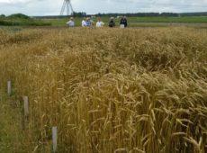 Озимая пшеница в длительном полевом опыте с ОСВ и торфогуминовым удобрением