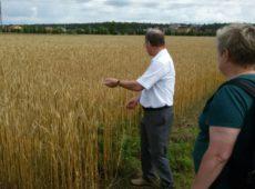 Озимая пшеница в полевом опыте № 006