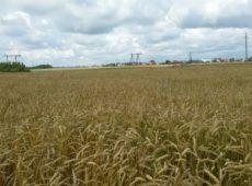 Питомник размножения перспективной линии озимой пшеницы Л-9