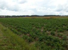 Регистрационные испытания агрохимикатов на картофеле сорт Скарб